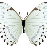 farfalla bianca